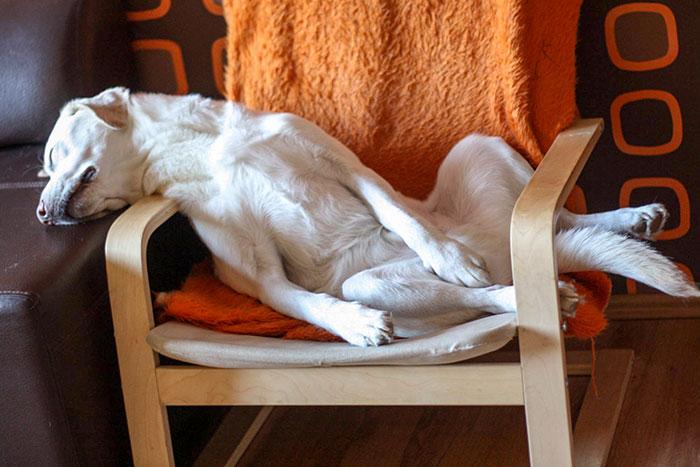 śpiący labrador baddy