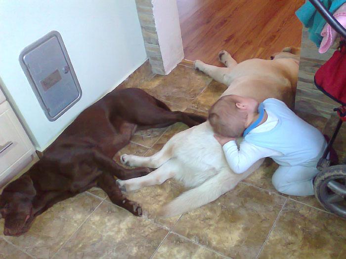 Czedar, labrador po bardzo udanej adopcji