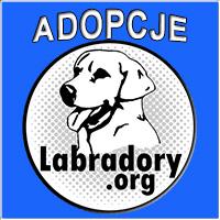 Zobacz labradory potrzebujące pomocy. Zostań domem tymczasowym, adoptuj lub pomóż któremuś z nich. Pieski znajdują się pod opieką forum labradory.org