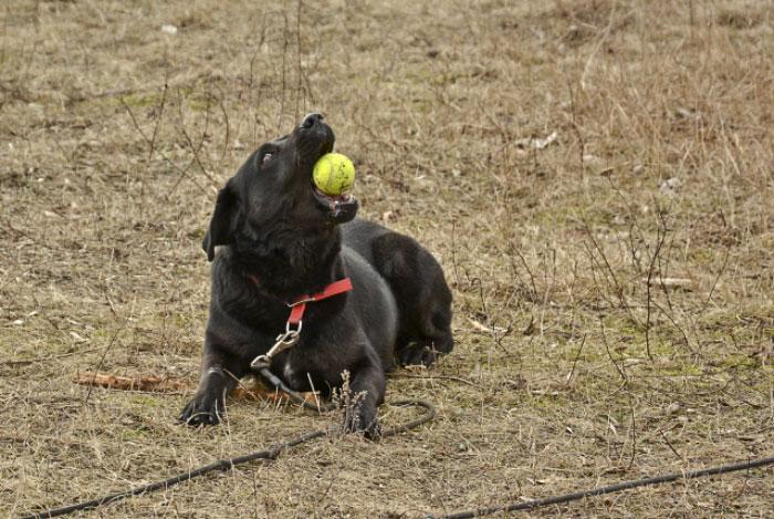 Bleki czarny mix labradora do adopcji
