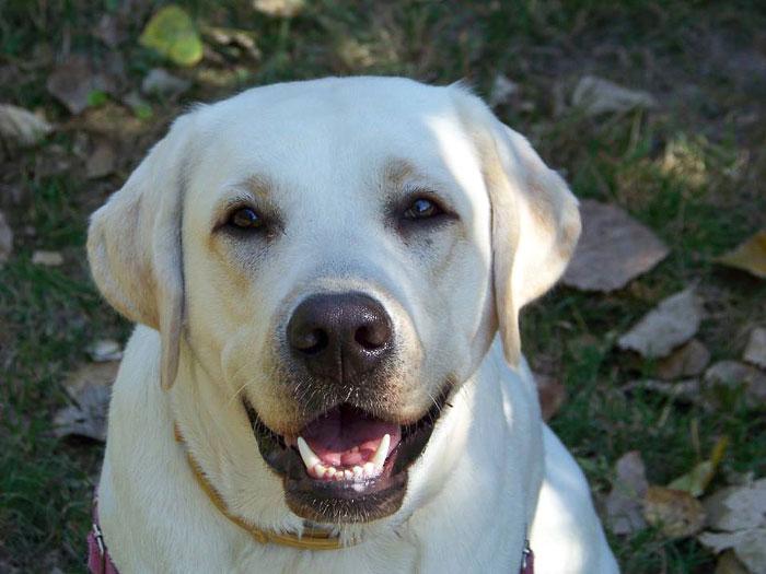 Suri najładniejszy pies 2014 r. na labradory.org