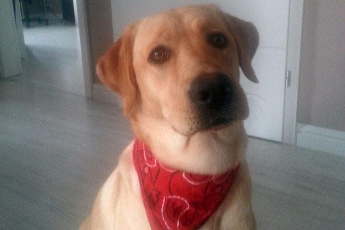 Labradorka Cleo szuka domu