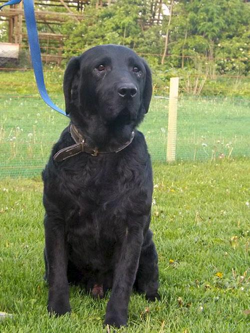 Colin piękny czarny labrador