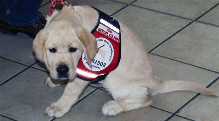 Szczeniaczek - kandydat na psa przewodnika