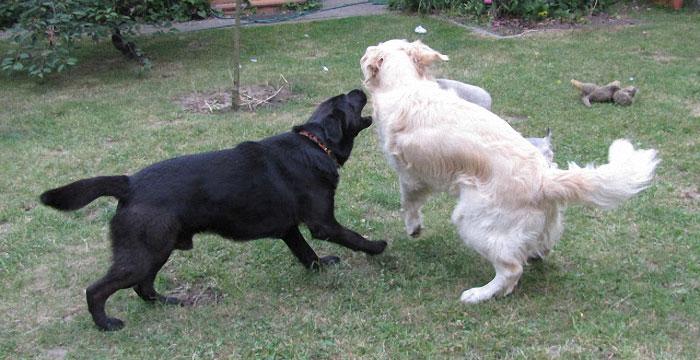 Nelson bawi się z psami