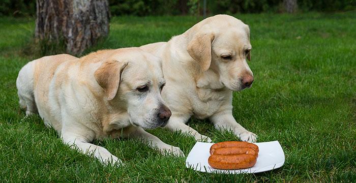 Labrador i kiełbasa