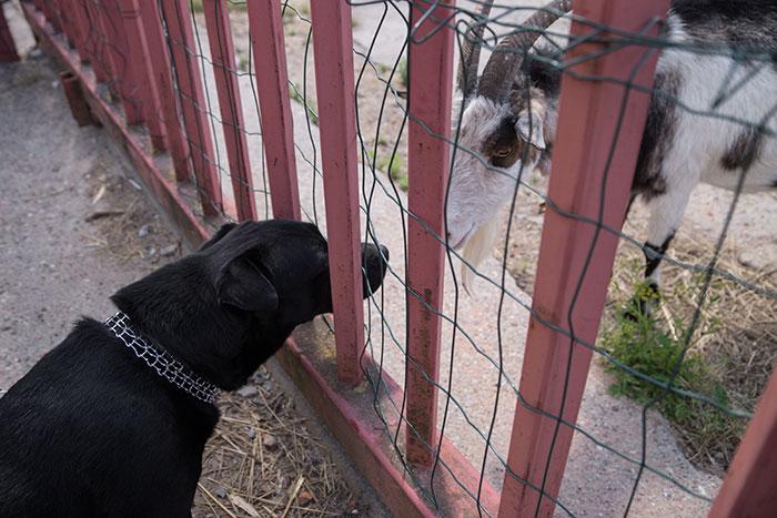 Nero i koza