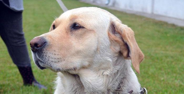 Wyrzucona labradorka