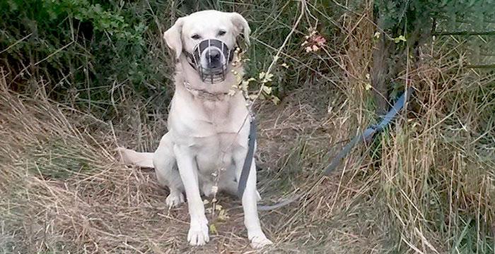 Labrador przywiązany do drzewa
