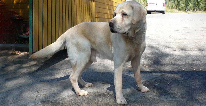 Labrador Loster