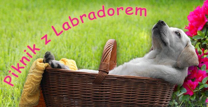 Piknik z labradorem
