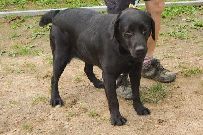 czarna labradorka w schronisku