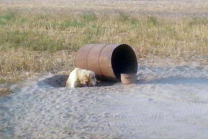 Labradorka przy beczce