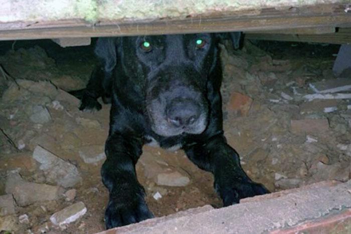 Labrador w szopie