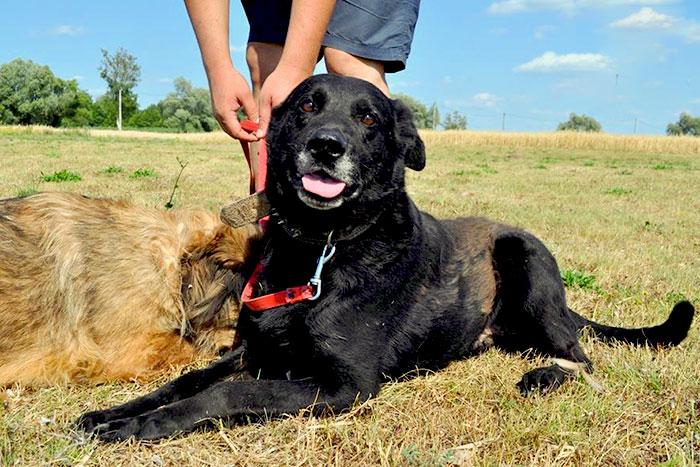 Labrador Psotek do adopcji