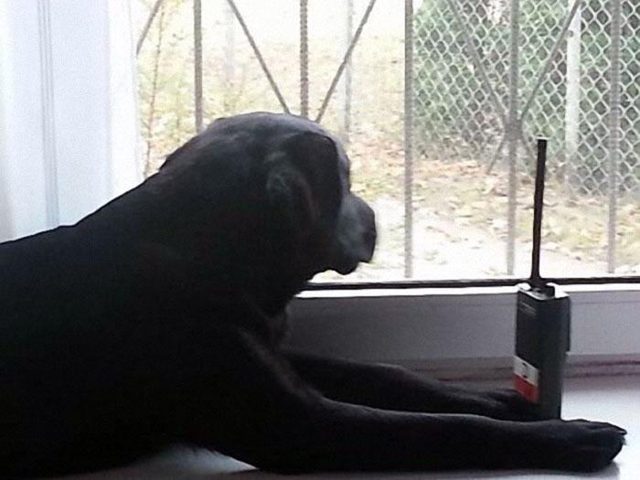 Labrador ratownik