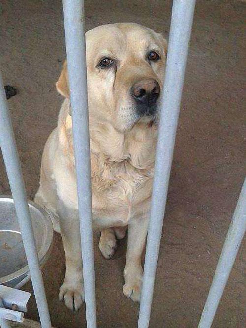 Labrador w schronisku