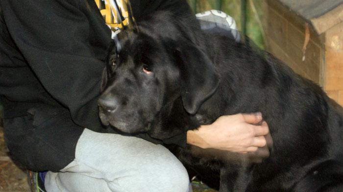 Czarna labradorka