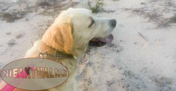 znaleziony Labrador