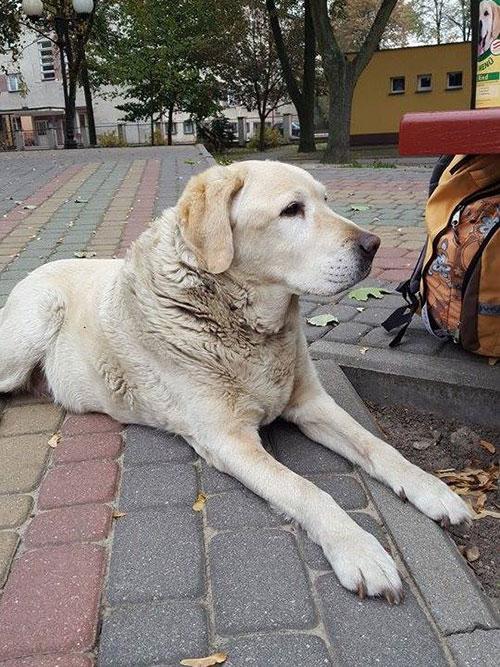 Wyrzucony labrador