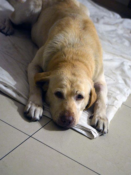 Bazylia labradorka z pseudohodowli