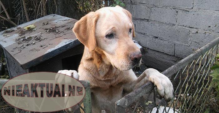 Labrador Labi