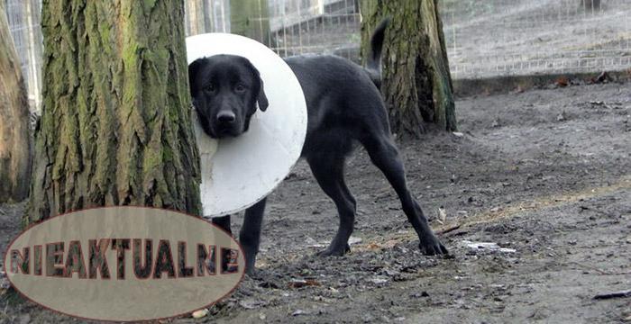 Labrador Armani