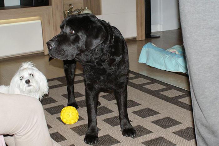 Labrador Grand