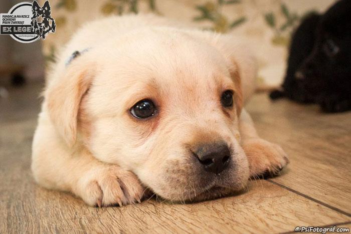 Labradorowate szczeniaki