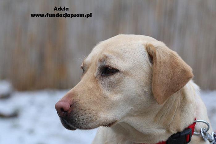 Labradorka