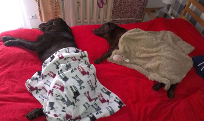 Labradory Bazyl i Inka