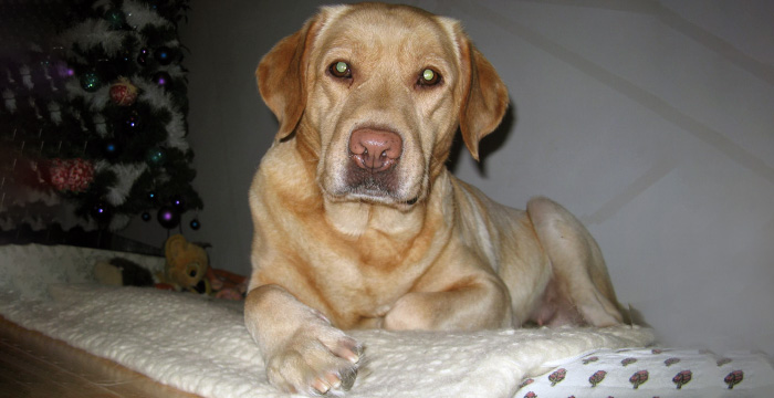 Labradorka Mela