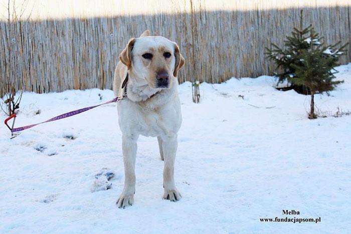 Labradorka Melba