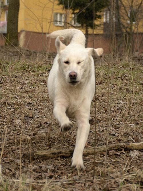 Labradorka Masza