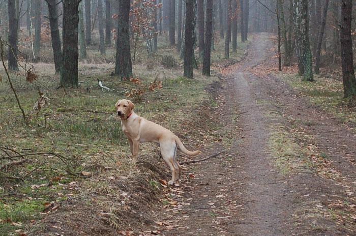 Labrador Marley
