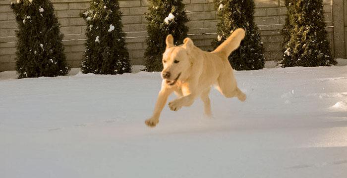 Labradorek