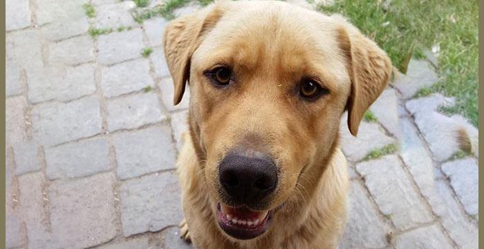 Labrador Wito