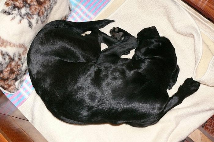 Labradorka Dora