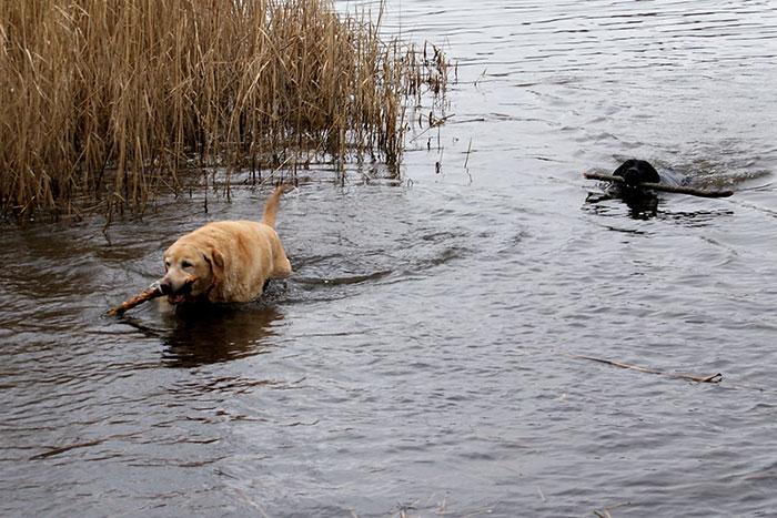 Labradorka Nuka