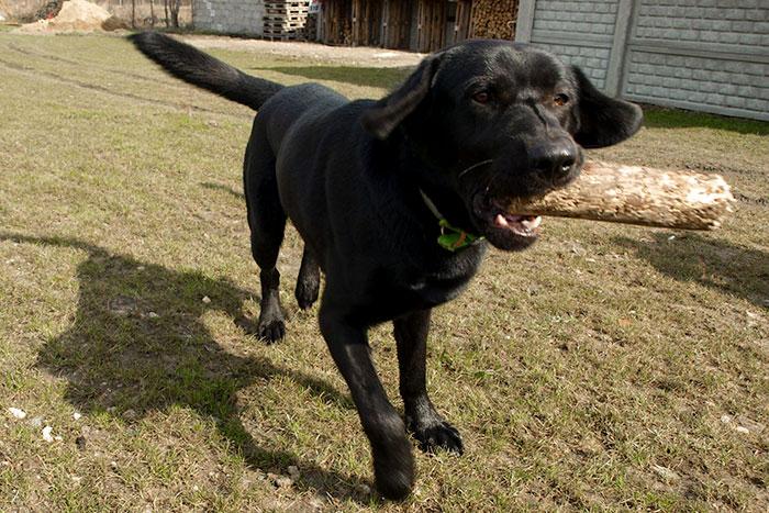 Labrador Scooby