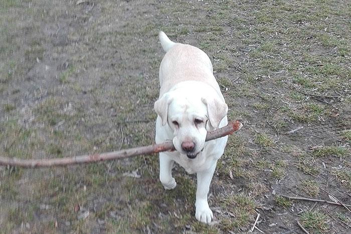 Labradorka Sammy