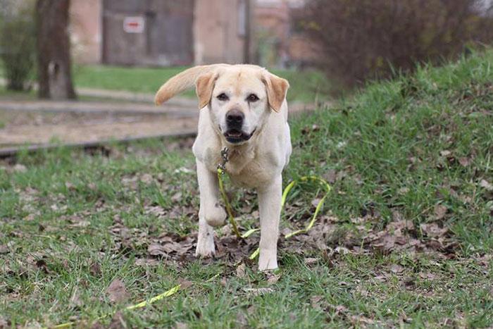 Labrador Brutus