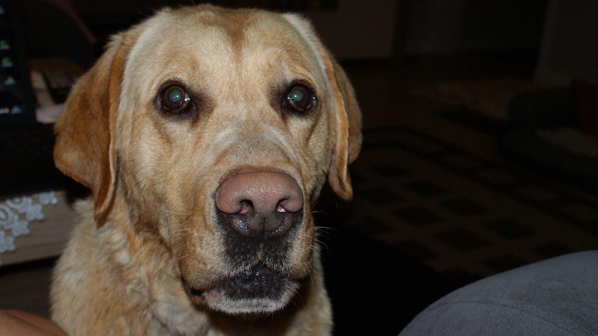 Labrador Nugat
