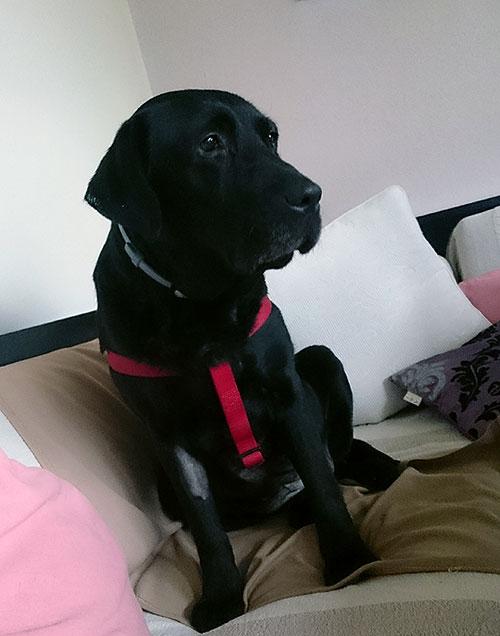 Labradorka Sally