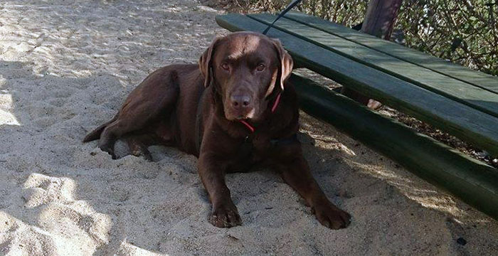 Labrador Alex