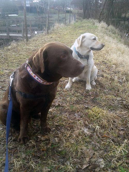 Labrador Serwus