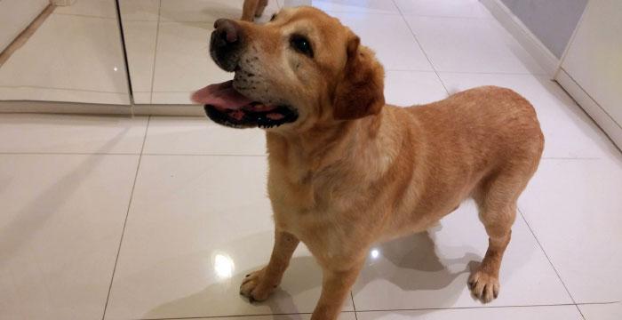 Labrador Ben