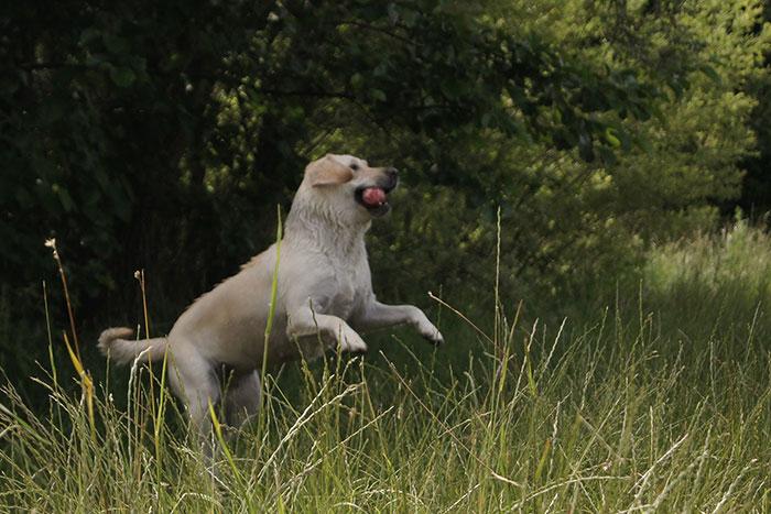 Labradorka Dusia