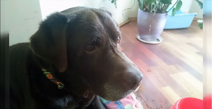 Labrador Lord