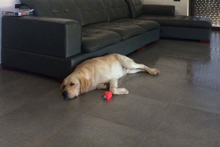 Labrador Maxim
